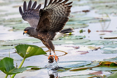 Snail Kite Successful in Hunting an Apple Snail 3 of 3 good (dbadair) Tags: outdoor lake water nature wildlife pluck 7dm2 ef100400mm ocean canon florida bird bif flight apple snail kite fl slim hooked bill endangered