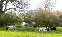 In the shadow (simonpfotos) Tags: cow dutchlandscape