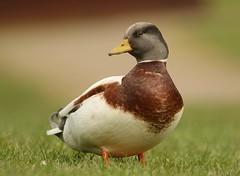 Call Duck (Bogger3.) Tags: hybridmallard jcblakes rocester posing uttoxeter canon7dmk2 canon300mmlens coth5 ngc npc