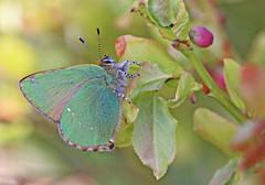 Green Hairstreak - Michael Bird (Just call me Doc) Tags: callophrysrubi greenhairstreak butterfly butterflies michaelbird warrenhills leicestershire shepshed bilberryplant canon 6d 100lmacrolens 100mm