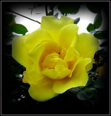 Natural Wonder (dimaruss34) Tags: newyork brooklyn dmitriyfomenko image flower rose