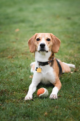 a pup and his ball (cathy sly) Tags: april2019 baker spring beagle dog ball hounding doglove