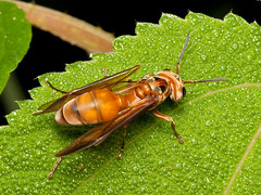 Ameisenkönigin ??? (Eerika Schulz) Tags: biene bee wespe wasp ecuador puyo eerika schulz ameise ant
