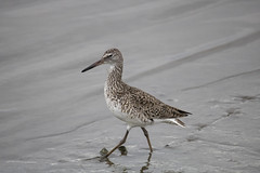 Strolling in the Marsh (Jonah P) Tags: nature photography canon rebel t6i environment marsh ocean atlanticocean new jersey park state blue green brown beautiful forest rain willet adult breeding shorebirds shore beach