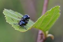 _IMG1320_DxO- on1 (douglasjarvis995) Tags: bug leaf leaves plant insect tree bush 100mm macro close pentax k1 nature