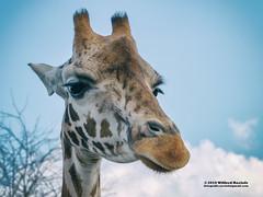 Giraffe (Roelofs fotografie) Tags: wilfred roelofs 2019 fotografie nikon d5600 wildlands adventure zoo emmen dutch holland neterlands animals animal sky adobe clouds white blue giraf giraffe outdoor picture foto