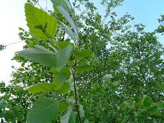 Leaves And Branches. (dccradio) Tags: lumberton nc northcarolina robesoncounty outdoor outdoors outside nature woods wooded forest tree trees sky may tuesday evening tuesdayevening goodevening leaf leaves foliage branch treebranch branches treebranches treelimb treelimbs sony cybershot dscw830 landscape