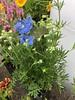 Delphinium Grandifroum Summer Blue (King Kong 911) Tags: delphinium grandifroum summer blue