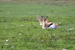 Thomson Gazelle (Robert Styppa) Tags: tanzania nikon nikond850 robertstyppa africa wildlife serengeti ngorongoro thomsongazelle