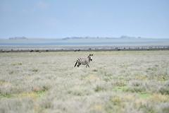 Zebra (Robert Styppa) Tags: tanzania nikon nikond850 robertstyppa africa wildlife serengeti ngorongoro zebra zebras