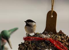 IMG_8456 (zach.gleason) Tags: chickadee blackcappedchickadee suet bird birdfeeder