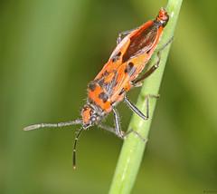 Corizus hyoscyami (timz501) Tags: bug heteroptera corizushyoscyami jersey