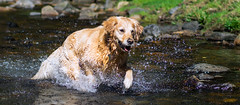 Abkühlung (Iso-Star) Tags: goldenretriever dog hund drausen outside natur nature watersplashes wasserspritzer splashes bach creek