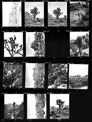 Joshua Tree National Park (Lennart Arendes) Tags: kodak trix 400 analog film 120 medium format zenza bronica etrs 75mm black white joshua tree national park california plants trees rocks nature