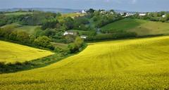 Fields (Mark C (Downloadable)) Tags: rolling hills fields rape crops yellow colourful pretty picturesque scenic landscape newton abbot devon england uk
