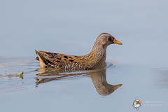 Spotted Crake (Simon Stobart - Back For Now) Tags: spotted crake porzana swimming north east england uk