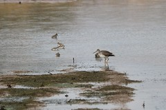 Greater Yellowlegs with Dunlins (Zach Frieben) Tags: 2018 michigan threeriversmi dunlin greateryellowlegs canon70300isiiusm canoneosrebelt6i