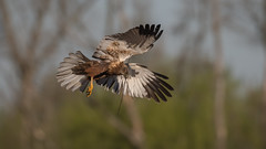 Marsh harrier (JS_71) Tags: nature wildlife nikon photography outdoor 500mm bird new spring see natur pose moment outside animal flickr colour poland sunshine beak feather nikkor d500 wildbirds planet global national wing eye watcher ngc