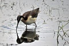 Wilson's Phalarope (Patricia Henschen) Tags: southriverroad alamosa colorado bird shorebird phalarope wilsons wilsonsphalarope reflection playa wetland roadside backroad rural countryside ranch sanluisvalley