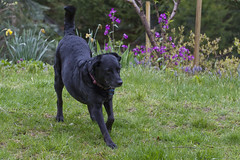 Roxy Chillin' in the Rain (brucetopher) Tags: mothersday dog stretch flowers rainy rain raining wet cold spring black blackdog lab
