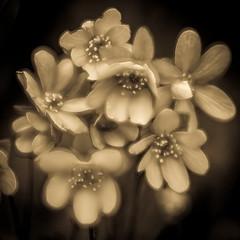 Voila! (Bert CR) Tags: voila accidentalorton ortoneffect wildflowers ss slidersunday toned tonedblackandwhite edit
