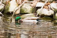 7K8A3619 (rpealit) Tags: scenery wildlife nature east hackettstown mallard duck bird