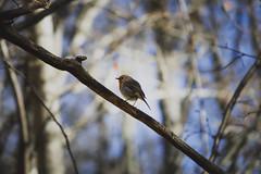April bird (davidcpetersson) Tags: april bird forest nature öland canon 700d 250mm spring sweden natur sverige