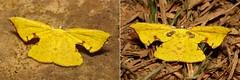 """LADIES and GENTLEMEN, BOYS and GIRLS!"" - Geometrid Moths (Corymica spatiosa, Ennominae, Geometridae) (John Horstman (itchydogimages, SINOBUG)) Tags: insect macro china yunnan itchydogimages sinobug entomology collage mosaic moth lepidoptera ennominae geometridae yellow boysandgirls corymica spatiosa corymicaspatiosa"