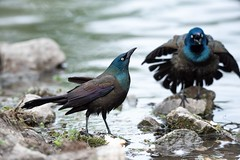 Grackles (Melinda G Pix) Tags: nature birdwatching outdoor grackle bird