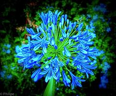 Agapanthus in April (Phil Gate Keeper) Tags: agapanthus flower garden nairobi kenya vignette olympus zuiko luminar skylum