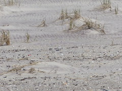 Piping Plover blending in to the sand (patricialindsay896) Tags: expedition 6 apr 2019