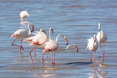 BK0_3097 (b kwankin) Tags: africa bird flamingogreater ndutu serengeti tanzania