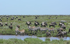 BK0_2972 (b kwankin) Tags: africa landscape ndutu serengeti tanzania wildebeest zebra