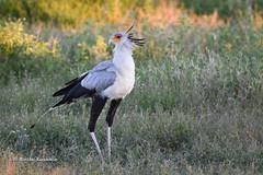 BK0_2363 (b kwankin) Tags: africa bird ndutu secretarybird serengeti tanzania