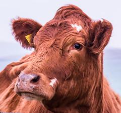 Cow on Barra (Briantc) Tags: scotland barra isleofbarra cow browncow