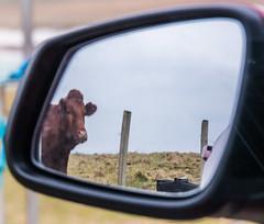 Cow on Barra (Briantc) Tags: barra isleofbarra cow browncow scotland mirror reflection