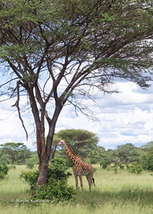 DSC00385 (b kwankin) Tags: africa giraffe ruahanationalpark tanzania