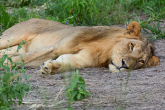 BK0_7288 (b kwankin) Tags: africa lion ruahanationalpark tanzania