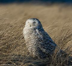 Owl in the wind (v4vodka) Tags: bird birding birdwatching animal nature wildife owl snowyowl sowa sowka predator raptor buboscandiacus sowasniezna puchaczsniezny nycteascandiaca schneeeule eule 雪鸮