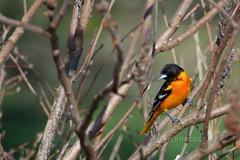 Yakkity Yak... (jah32) Tags: birds bird birdwatcher feathers waterworkspark stthomasontario canada wildlife nature nikon 200500mm56 orange oriole
