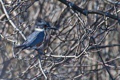 King Fisher is back (Chi Ken Yeung) Tags: kingfisher lamoreauxnorthpark nikond500 tamronsp150600mmf563divcusdg2