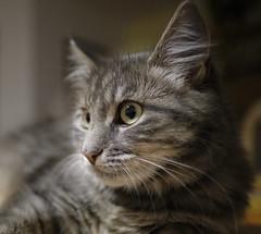 Our pretty guest (wulifou) Tags: fujifilmxpro2 xf16mmf14rwr cats wideopen portrait shallowdof