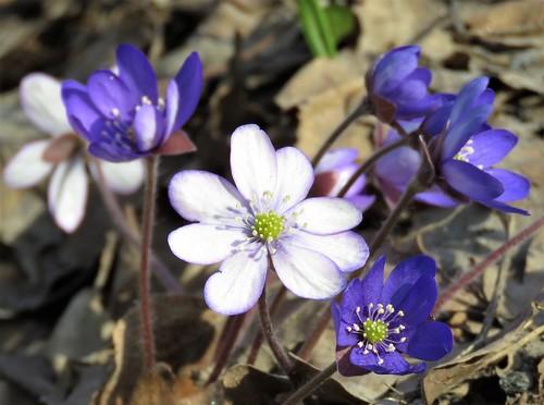 Sinivalkoinen sinivuokko (Hepatica nobilis)