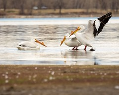 The Squabble (droy0521) Tags: wildlife colorado americanwhitepelican outdoors bird