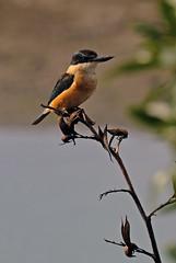 Kingfisher on flax (Maureen Pierre) Tags: sacredkingfisher flax bird roost light colour xt2 fujifilm
