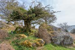 Awesome Tree - Bowerman's Nose Dartmoor (pm69photography.uk) Tags: bowermansnose trees tree devon dartmoor atmospheric atmosphere a7r3 a7riii sony24mm14gm 24mm southwest sony sonya7r3 sonya7riii moody moors