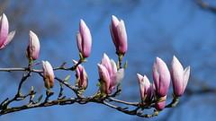 Magnolia (jpkrone) Tags: magnolia