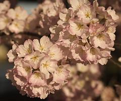 Cherry blossom 2 (jabeinji46) Tags: washington dc cherry blossom