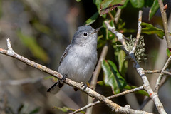 Blue Gray Gnatcatcher (Linda Martin Photography) Tags: circleb usa wildlife nature bird bluegraygnatcatcher polioptilacaerulea animal florida coth coth5 alittlebeauty naturethroughthelens specanimal ngc