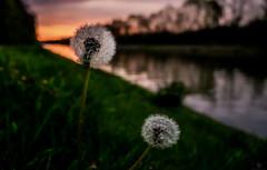 Niederrhein... (st.weber71) Tags: nikon nrw niederrhein natur morgens morgensonne z7 kanal weseldattelnkanal blumen goldenestunde wasser bäume